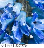 Купить «Гиацинт», фото № 1537779, снято 2 марта 2010 г. (c) Максим Лоскутников / Фотобанк Лори