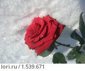 Роза на снегу. Стоковое фото, фотограф Валерий Нестеров / Фотобанк Лори