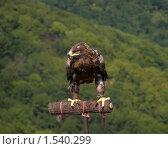 Купить «Степной орёл», фото № 1540299, снято 13 августа 2007 г. (c) Art Konovalov / Фотобанк Лори