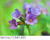 Медуница неясная цветет (Pulmonaria obskura) Стоковое фото, фотограф Алёшина Оксана / Фотобанк Лори