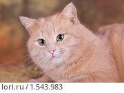 Рыжий кот. Стоковое фото, фотограф Дмитрий Милехин / Фотобанк Лори