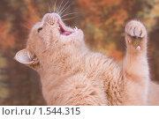 Рыжий кот мяукает. Стоковое фото, фотограф Дмитрий Милехин / Фотобанк Лори