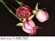 Увядшие цветы на черном фоне. Стоковое фото, фотограф Яков Козарез / Фотобанк Лори