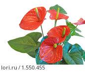 Антуриум.Красные цветы, изолированно на белом фоне. Стоковое фото, фотограф Сметанова Наталия / Фотобанк Лори