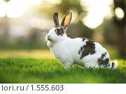 Купить «Кролик на лужайке», фото № 1555603, снято 23 ноября 2008 г. (c) Константин Сутягин / Фотобанк Лори