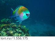 Купить «Рыба-попугай - Крутолобый скар (Scarus gibbus), Красном море, Синай, Египет», фото № 1556175, снято 22 января 2019 г. (c) Виктор Савушкин / Фотобанк Лори
