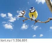 Купить «Малая синица, сидящая на веточке», фото № 1556891, снято 6 января 2009 г. (c) Бондарь Александр Николаевич / Фотобанк Лори