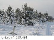 Сосенки зимой. Стоковое фото, фотограф Аврам / Фотобанк Лори