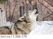Купить «Воющая волчица в Московском зоопарке», фото № 1566175, снято 18 марта 2010 г. (c) Михаил Борсов / Фотобанк Лори