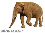 Купить «Слон на белом фоне, изолировано», фото № 1566667, снято 30 мая 2009 г. (c) Денис Ларкин / Фотобанк Лори