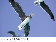 Купить «Чайки летят на фоне неба», фото № 1567551, снято 10 ноября 2009 г. (c) Сергей Дубров / Фотобанк Лори