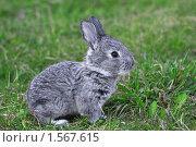 Купить «Серый кролик», фото № 1567615, снято 18 апреля 2009 г. (c) Александр Паррус / Фотобанк Лори