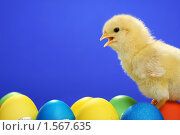 Купить «Цыпленок», фото № 1567635, снято 26 апреля 2009 г. (c) Александр Паррус / Фотобанк Лори
