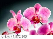 Цветок Орхидея ( phalaenopsis ) Стоковое фото, фотограф ElenArt / Фотобанк Лори