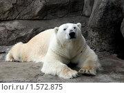 Московский зоопарк. Белый медведь. Стоковое фото, фотограф Павел Красихин / Фотобанк Лори