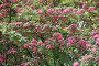 Пышное цветение боярышника крупноплодного, эксклюзивное фото № 1577179, снято 24 мая 2009 г. (c) Анна Мартынова / Фотобанк Лори
