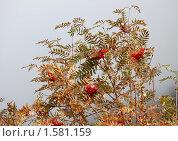 Купить «Куст рябины с созревшими гроздьями на фоне туманного неба», фото № 1581159, снято 6 октября 2009 г. (c) Анна Мартынова / Фотобанк Лори