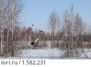 Тетерева, взлетающие из лунок в снегу. Стоковое фото, фотограф ASA / Фотобанк Лори