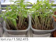 Купить «Рассада томатов в ящике на подоконнике», фото № 1582415, снято 18 марта 2010 г. (c) Алексей Баринов / Фотобанк Лори