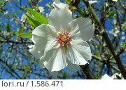 Цветок сливы. Стоковое фото, фотограф Valentina Dimitrova / Фотобанк Лори