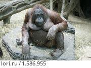 Купить «Самка орангутана в зоопарке», фото № 1586955, снято 20 марта 2010 г. (c) Наталья Волкова / Фотобанк Лори