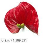 Красный цветок антуриума на белом фоне. Стоковое фото, фотограф Александр Масалев / Фотобанк Лори