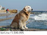 Купить «Голден ретривер на морском берегу», фото № 1590995, снято 26 января 2010 г. (c) крижевская юлия валерьевна / Фотобанк Лори