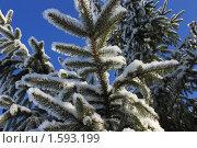 Ель зимой. Стоковое фото, фотограф Ронжин Сергей / Фотобанк Лори