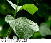 Капельки воды на листе. Стоковое фото, фотограф Умуд  Асланов / Фотобанк Лори