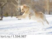 Купить «Золотистый ретривер в прыжке», фото № 1594987, снято 28 марта 2010 г. (c) Андрей Павлов / Фотобанк Лори