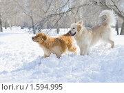 Купить «Две собаки породы золотистый (голден) ретривер на снегу в парке», фото № 1594995, снято 28 марта 2010 г. (c) Андрей Павлов / Фотобанк Лори