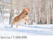 Купить «Золотистый ретривер в прыжке», фото № 1594999, снято 28 марта 2010 г. (c) Андрей Павлов / Фотобанк Лори
