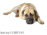 Купить «Собака», фото № 1597111, снято 5 марта 2010 г. (c) Наталья Аксёнова / Фотобанк Лори