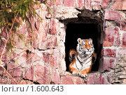 Купить «Амурский тигр», фото № 1600643, снято 20 марта 2010 г. (c) Евгений Захаров / Фотобанк Лори