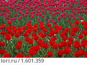 Тюльпаны. Стоковое фото, фотограф lana1501 / Фотобанк Лори