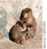 Купить «Японские макаки. Мать и детеныш», фото № 1603951, снято 3 апреля 2010 г. (c) Щеголева Ольга / Фотобанк Лори