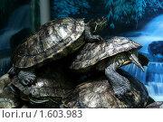 Купить «Красноухие черепахи», фото № 1603983, снято 31 марта 2010 г. (c) Вера Тропынина / Фотобанк Лори