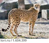 Купить «Гепард», фото № 1604399, снято 3 апреля 2010 г. (c) Сергей Лаврентьев / Фотобанк Лори