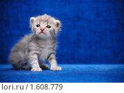 Котенок на синем фоне. Стоковое фото, фотограф Арестов Андрей Павлович / Фотобанк Лори