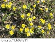 Купить «Весенник зимний, или Эрантис (Erantis hyemalis)», фото № 1608811, снято 4 апреля 2010 г. (c) Наталия Шевченко / Фотобанк Лори
