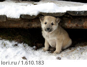 Щенок под досками. Стоковое фото, фотограф Дмитрий Лемешко / Фотобанк Лори