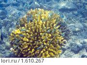 Купить «Индийский океан. Коралловые рыбки», фото № 1610267, снято 25 марта 2010 г. (c) Куликов Константин / Фотобанк Лори