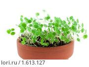 Купить «Зеленые ростки в керамическом горшочке», фото № 1613127, снято 23 марта 2010 г. (c) Анастасия Золотницкая / Фотобанк Лори