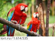 Купить «Попугаи Латинской Америки - Красный ара (Ara macao)», фото № 1614535, снято 27 ноября 2009 г. (c) Владимир Мельник / Фотобанк Лори