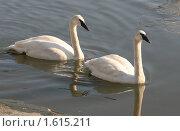 Купить «Пара белых лебедей», эксклюзивное фото № 1615211, снято 3 апреля 2010 г. (c) Щеголева Ольга / Фотобанк Лори