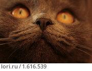 Купить «Портрет кошки», фото № 1616539, снято 14 августа 2018 г. (c) анна кузнецова / Фотобанк Лори