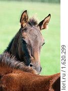 Купить «Лошади», фото № 1620299, снято 12 сентября 2009 г. (c) Михаил Браво / Фотобанк Лори