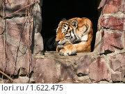 Купить «Амурский тигр дремлет на весеннем солнце», эксклюзивное фото № 1622475, снято 10 апреля 2010 г. (c) Щеголева Ольга / Фотобанк Лори
