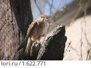 Купить «Самка пустельги», фото № 1622771, снято 11 апреля 2010 г. (c) Наталья Волкова / Фотобанк Лори
