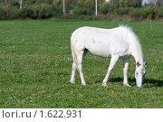 Купить «Белая лошадь на зелёном поле», фото № 1622931, снято 12 сентября 2009 г. (c) Михаил Браво / Фотобанк Лори